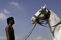 Inde - Le cheval Marwari